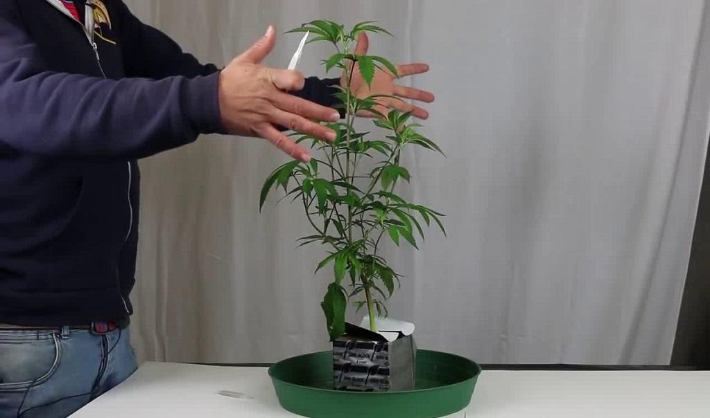 הסרטון מציג בצורה ברורה קיטום צמחי קנאביס